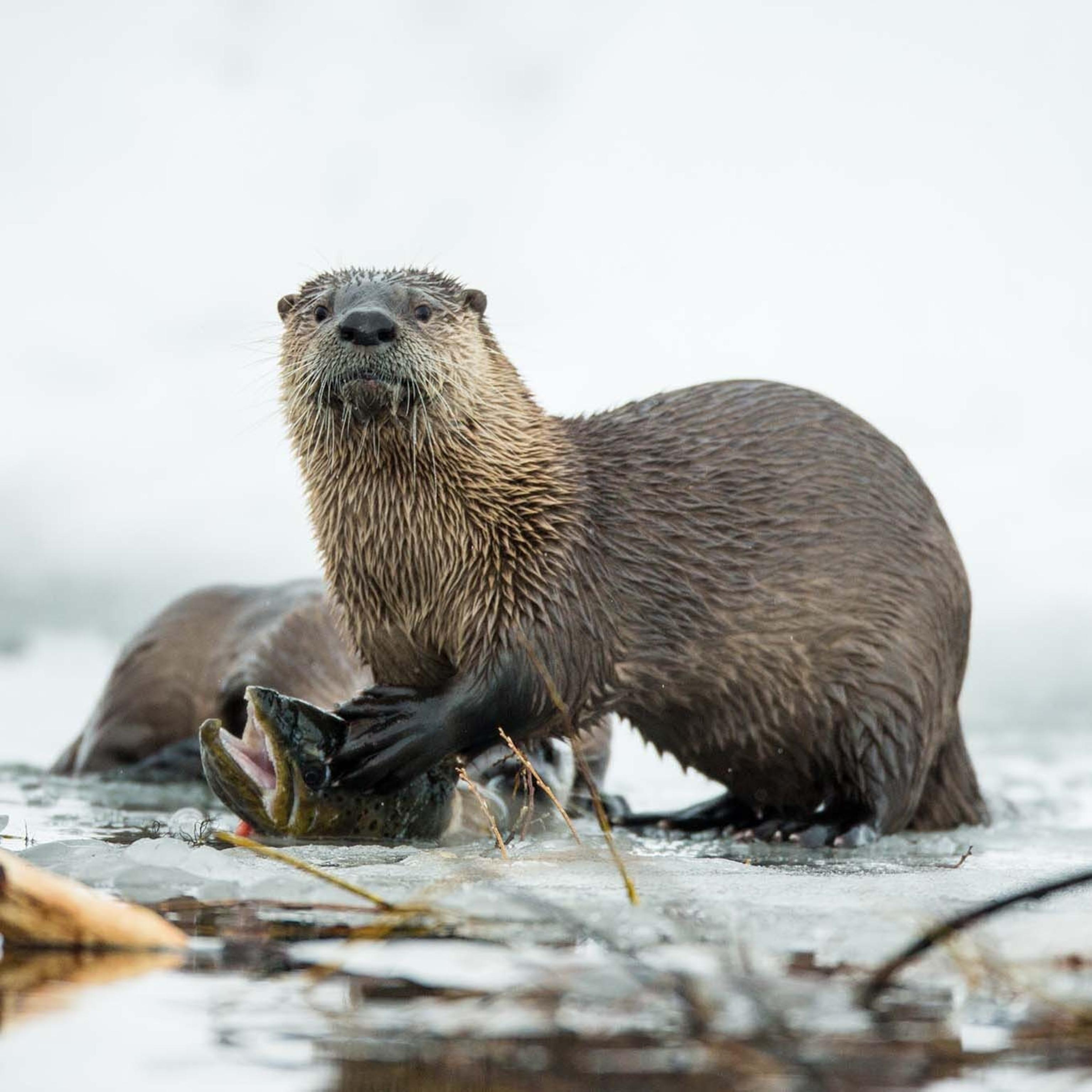 Otter a wild animal