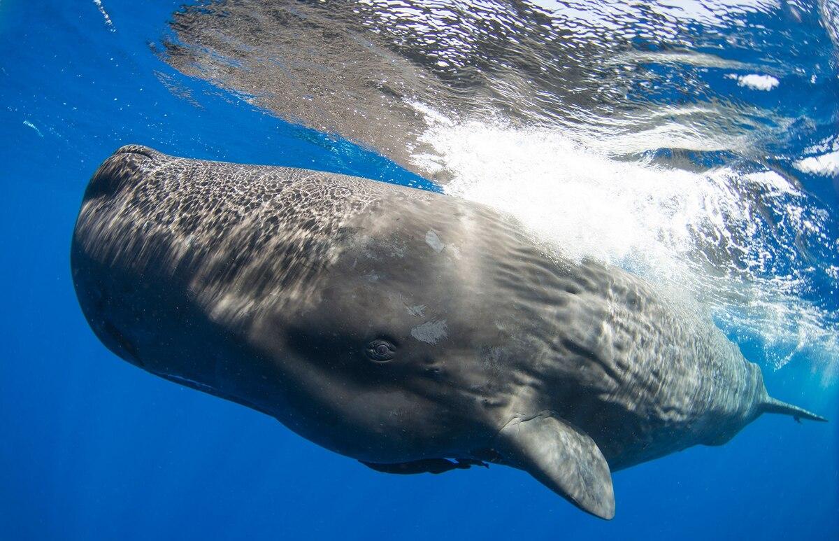 Sperm Whales in Caribbean Have Distinct Culture