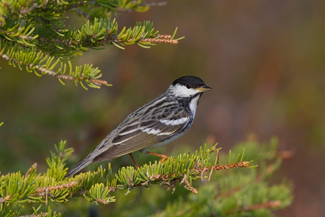 Amazing: Tiny Birds Fly Without Landing for Three Days