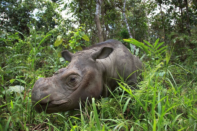 An adult Sumatran rhino bull in his outdoor enclosure. Sumatrans once flourished in lowland rain forest habitat in many parts of Southeast Asia. Photograph by Rasmus Gren Havmøller
