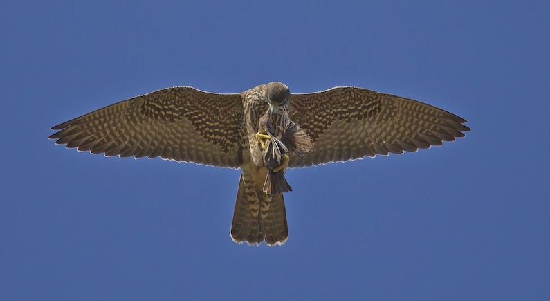 A falcon with a starling in its claws