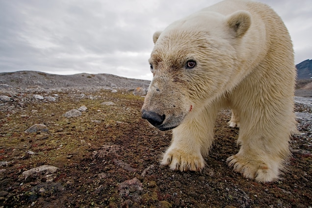 4 Ways Polar Bears Are Dealing With Climate Change