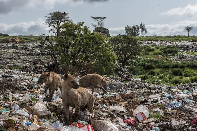 Hyenas dig for scraps at a landfill in Harar, Ethiopia.