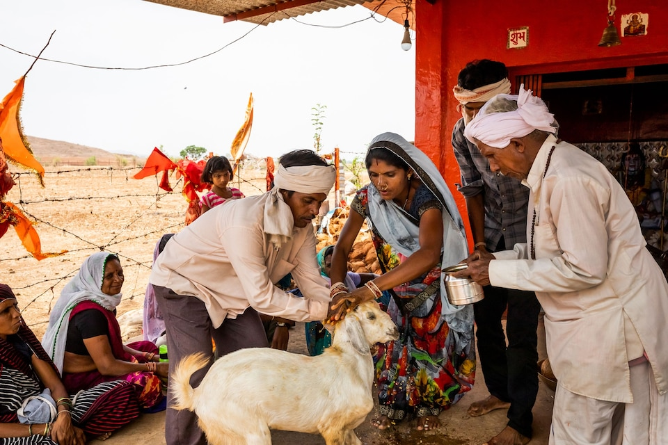 Prayers offered to sacrificial goat in India.