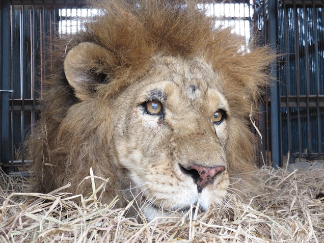 On the day of his rescue in 2016, enjoys a bed of hay for what it probably the first time. He had brain damage from blows to the head, but Liso became his guide. Photograph courtesy Animal Defenders International