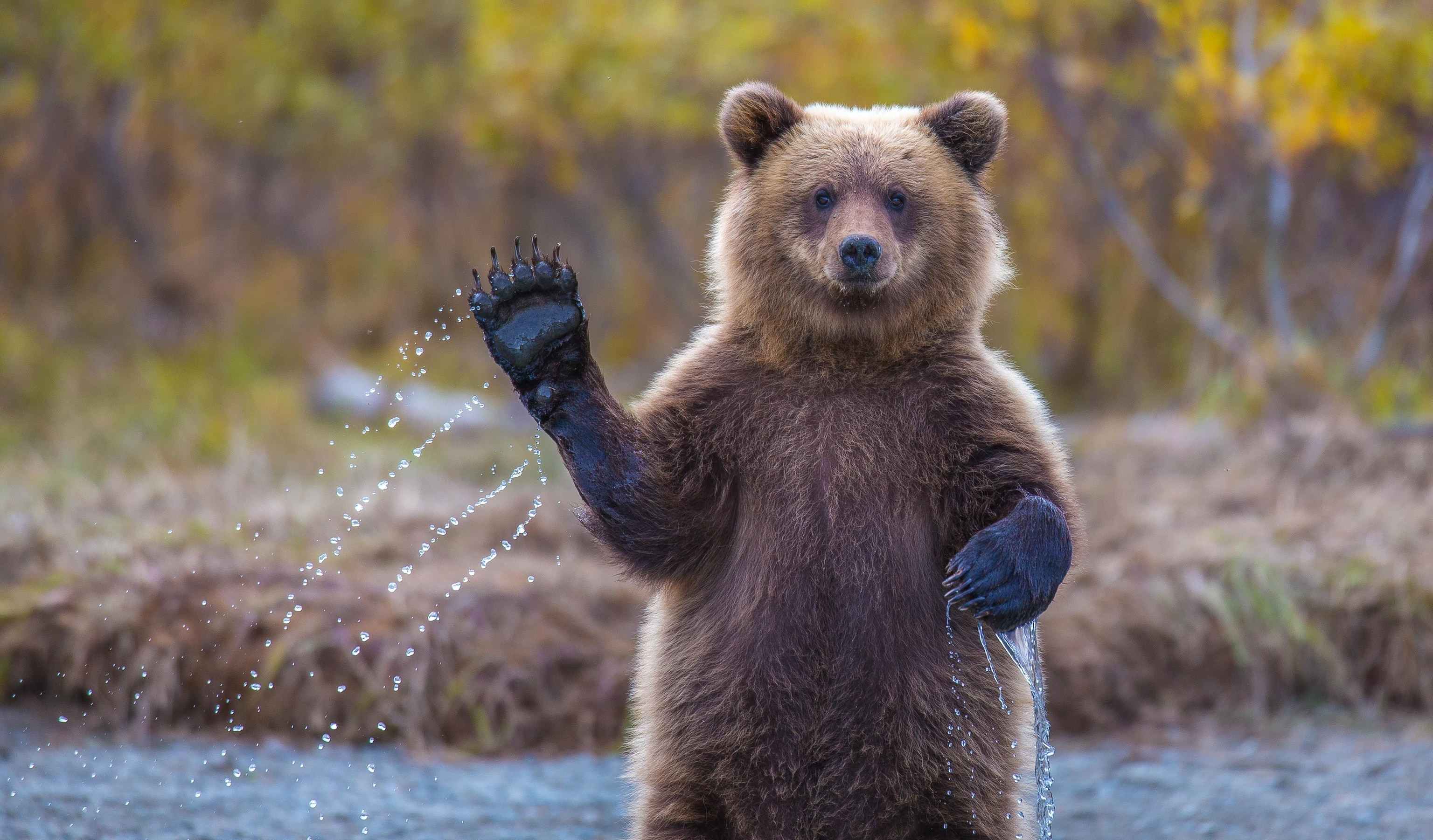Brown Bear | National Geographic