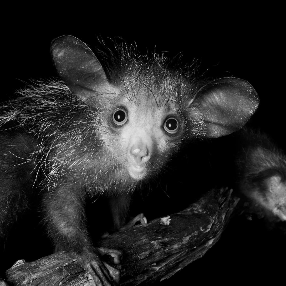 Aye-aye in nest, Daubentonia madagascariensis,   Stock Photo