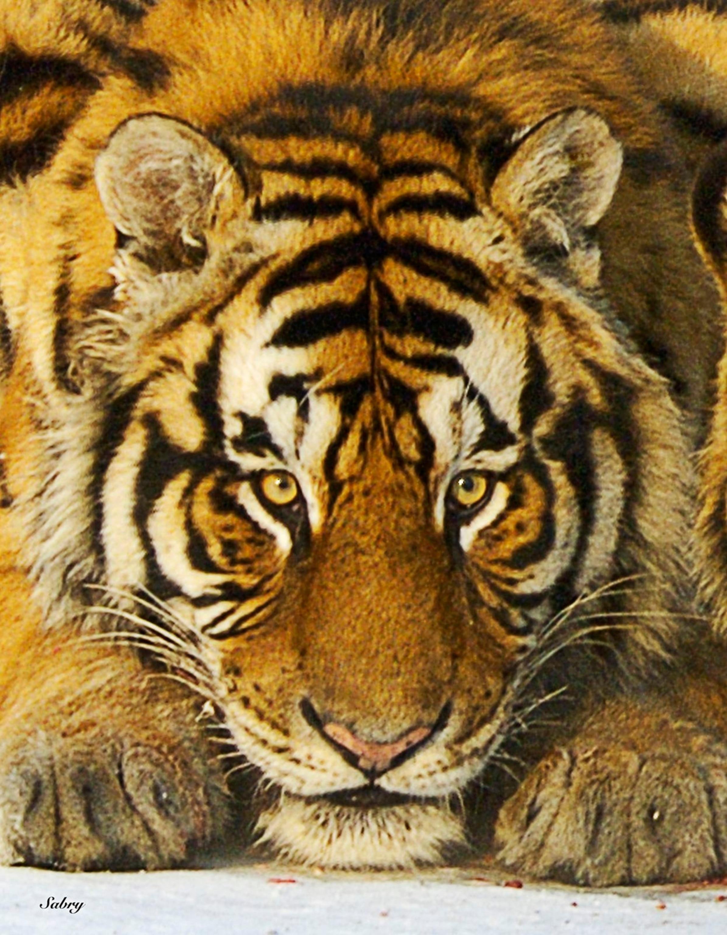 Siberian Tiger Wide-Ruled Notebook Ringbound Jotter Endangered Animal