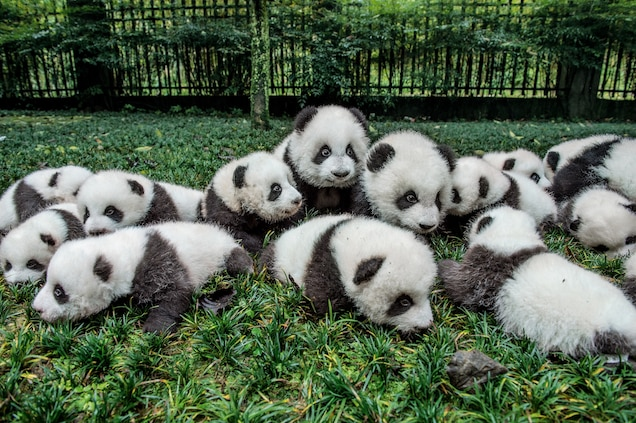 Who Discovered the Panda?