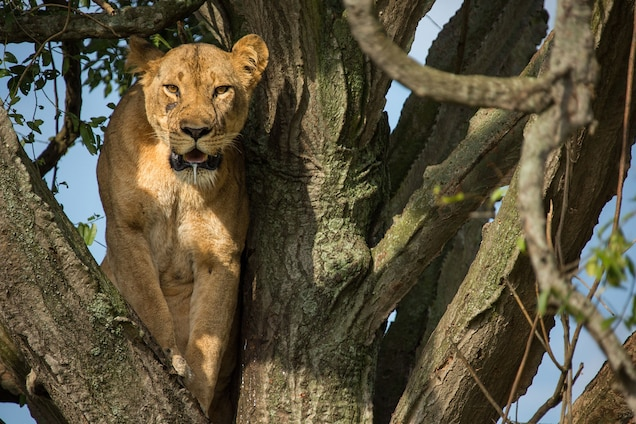 One of the lionesses looks out from her perch. Because most female lions have a litter of cubs each year—thus contributing to the overall population—the loss of a reproductive female is more devastating than the loss of a male. PHOTOGRAPH BY ALEXANDER BRACZKOWSKI