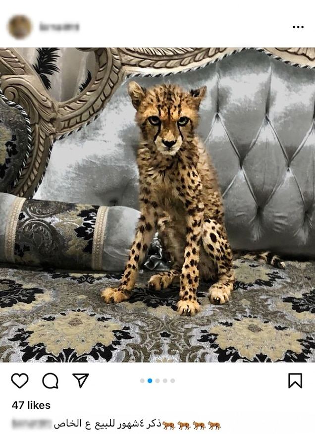 """Social media sites like Instagram also act as a marketplace. The caption above says, """"Four-month-old male cheetah for sale. Contact in-box."""" Cheetahs aren't easy to breed in captivity; most pets were poached from the wild."""