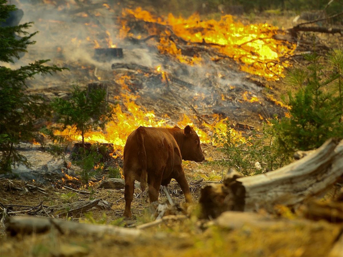 What do Wild Animals Do in a Forest Fire?