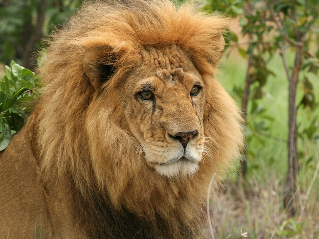 """There has been a """"massive spike"""" in lion killings in recent years, according to the big cat NGO Panthera. Lion teeth and claws are in demand in Asia for trinkets, and in Africa the heads, tails, and paws are used for traditional medicine. Photograph courtesy Animal Defenders International"""