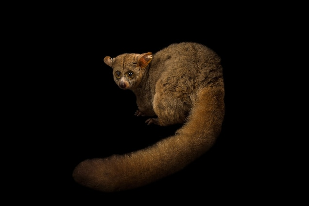a thick-tailed greater galago