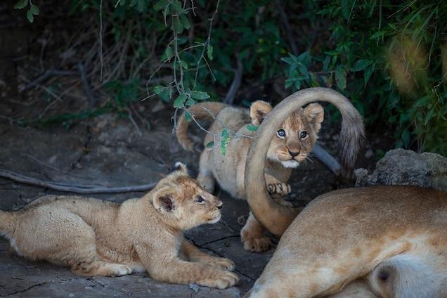 lions pierdere de grăsime