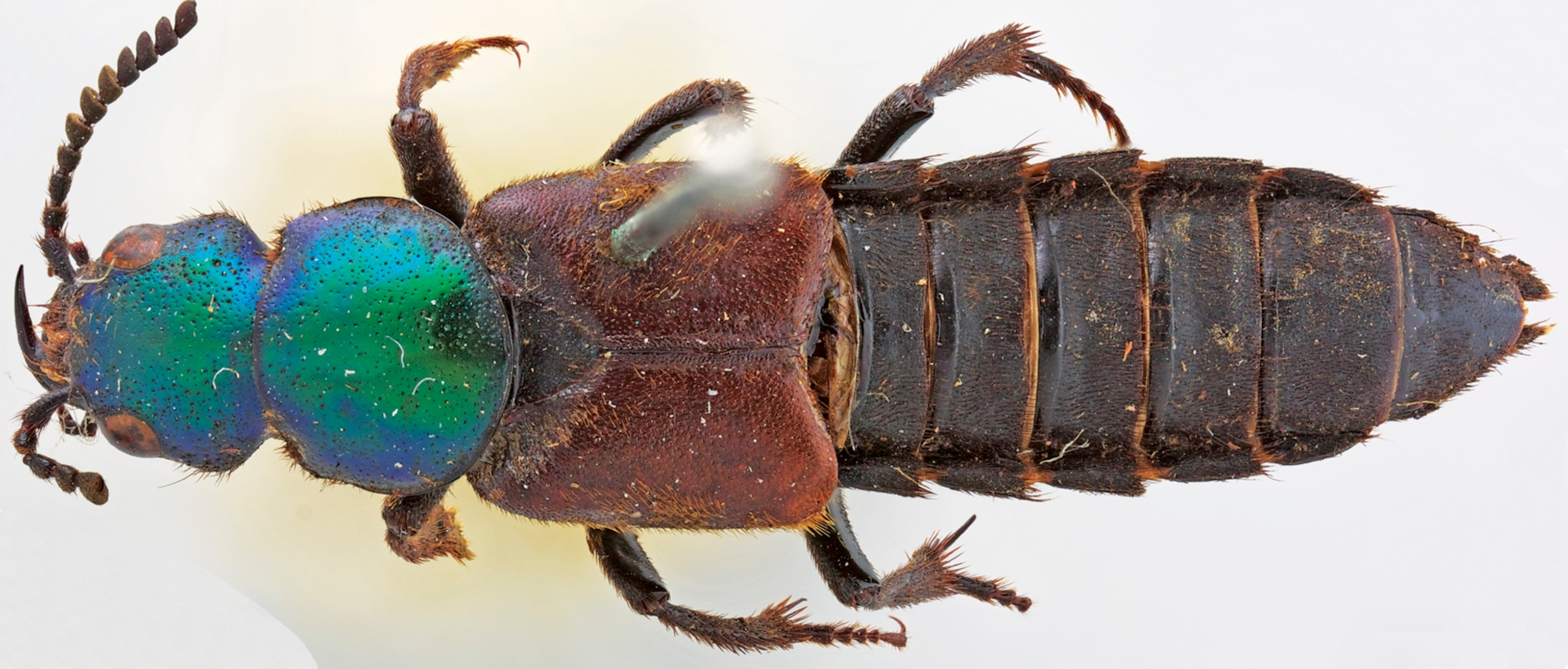 Found: New Beetle Collected by Darwin 180 Years Ago