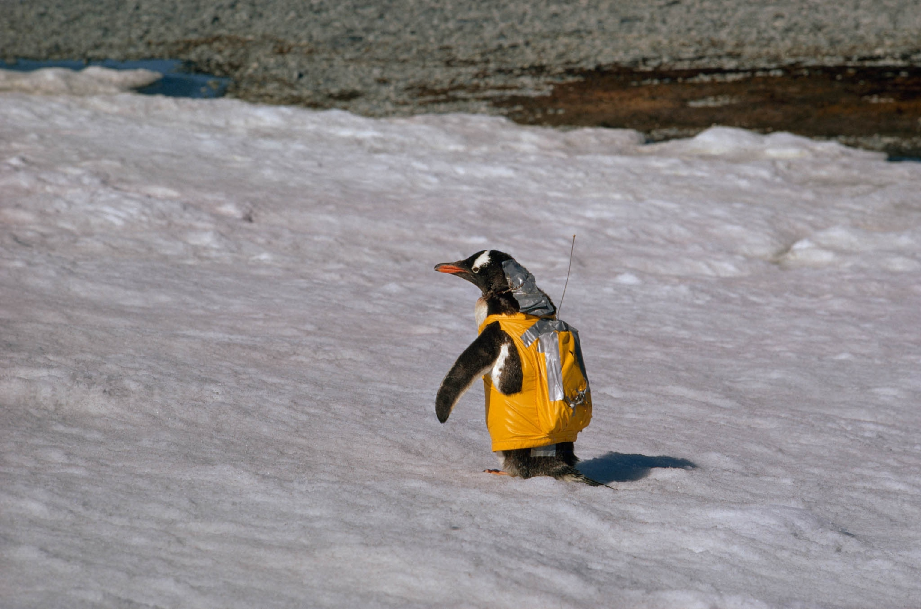 Penguin Pack | Nat Geo Photo of the Day