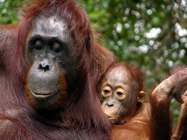 a baby orangutan nursing