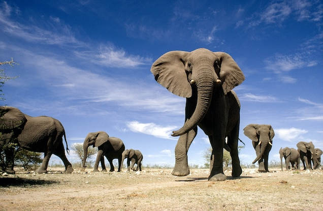 Why Elephants Are As Ritualistic and Violent As the Mafia
