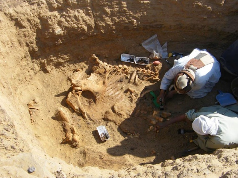 Workers excavate the skeleton of a male elephant.