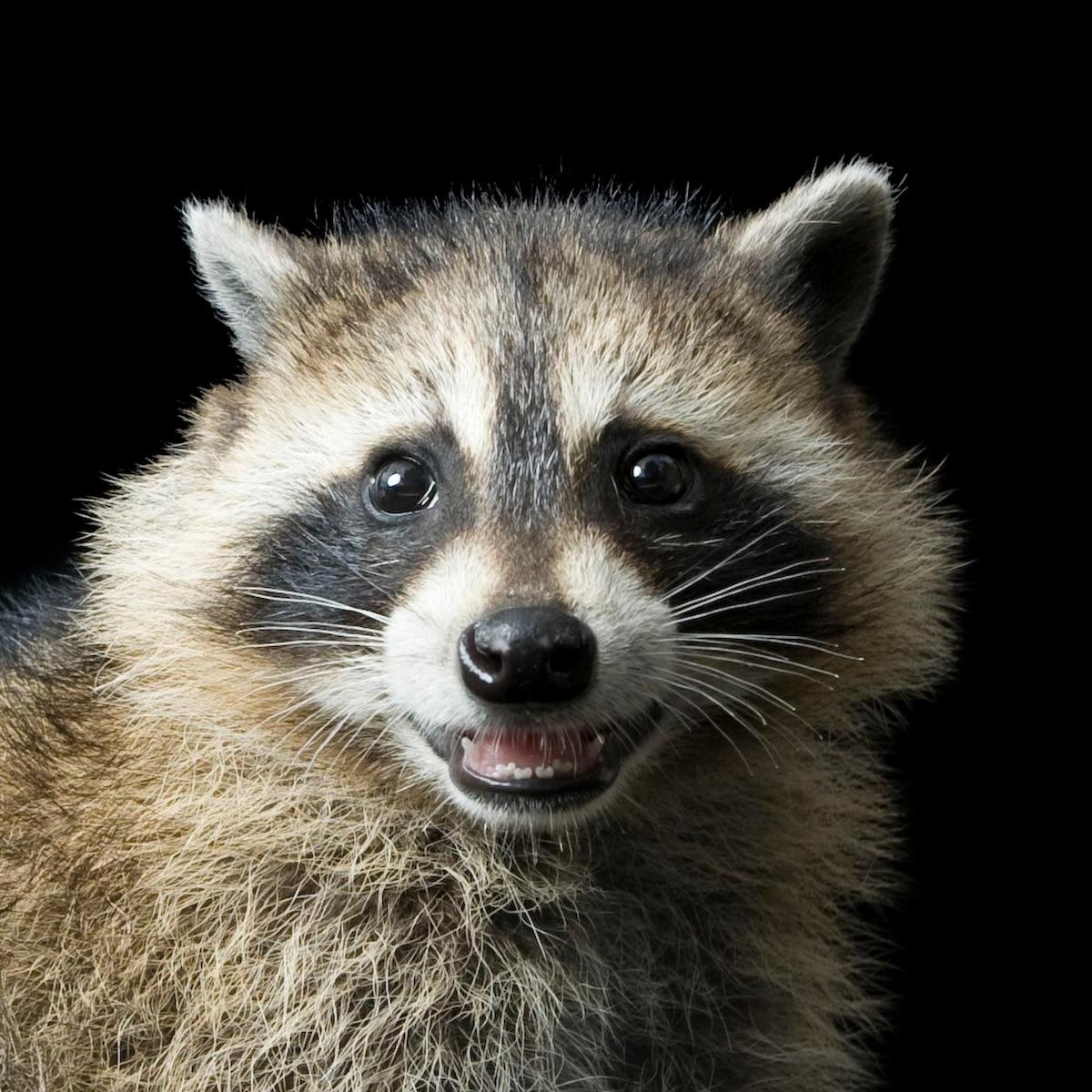 Raccoon | National Geographic
