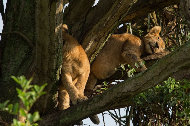 Two of the eight cubs that died lounge in a candelabra tree. The pride was known to hang out in trees, making them a draw for tourists. PHOTOGRAPH BY ALEXANDER BRACZKOWSKI