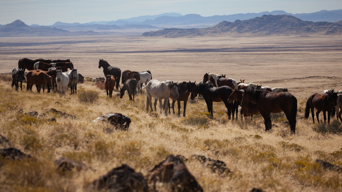 86,000 wild mustangs that roam the West are at the center of raging controversy