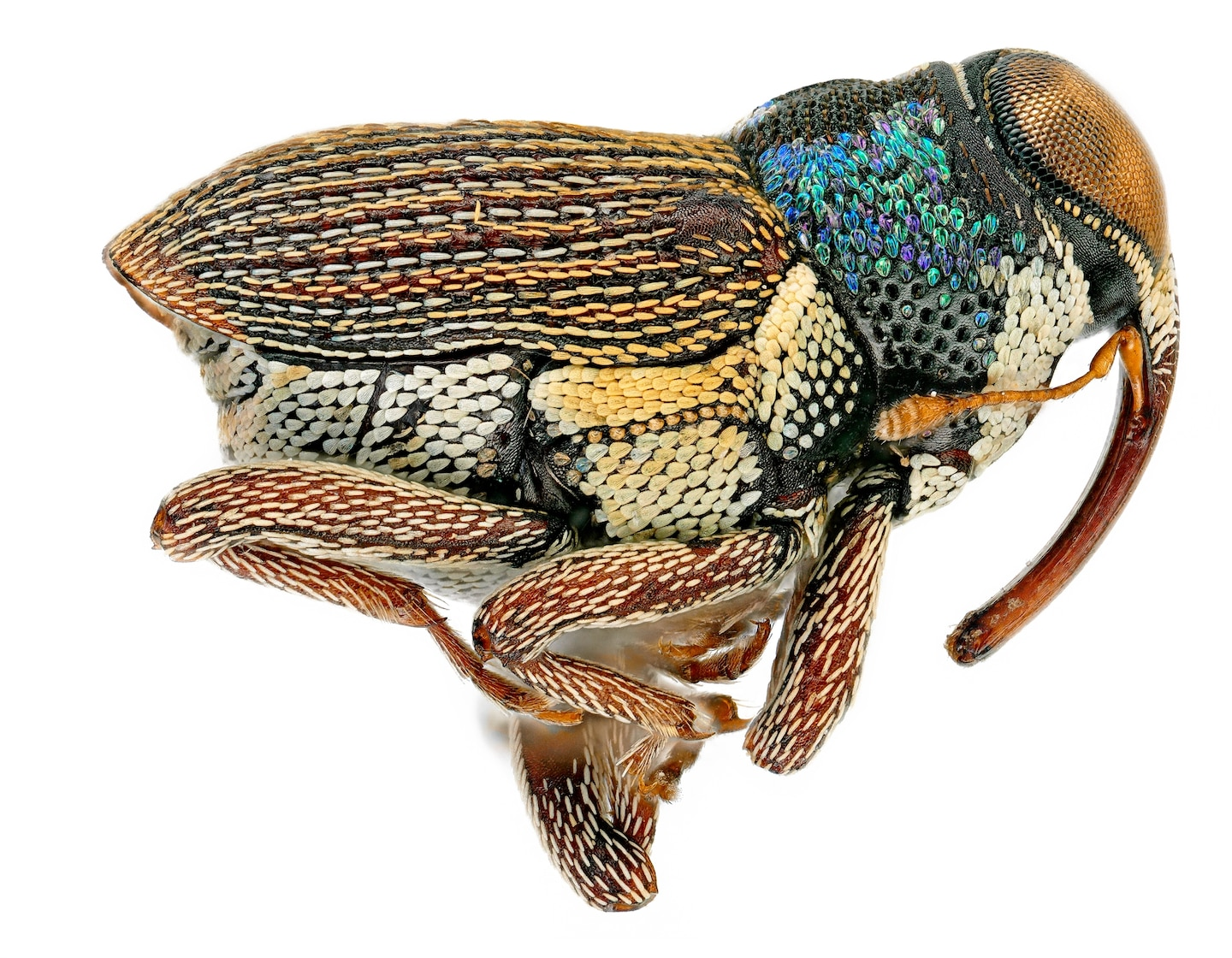 STOCK_MM9209_aaweevil2FINISHED.jpg?w=1440&h=1120