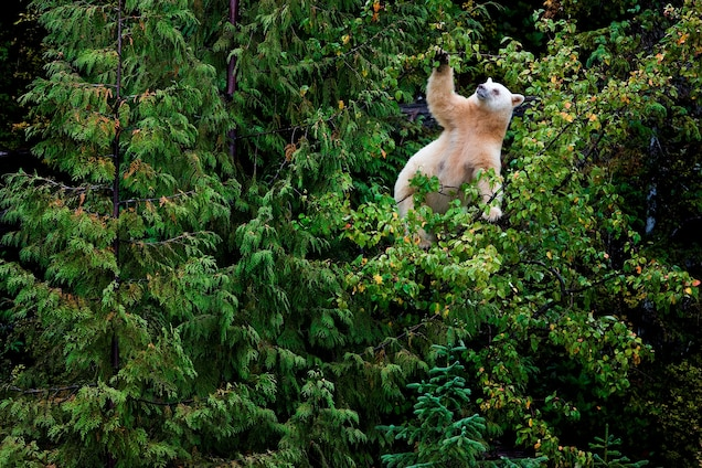 Crab apples are a favorite food of British Columbia's spirit bears. The coastal town of Klemtu used to have an unemployment rate of 80 percent, but bear-viewing ecotourism has helped reduce it to 10 percent. Photograph by Paul Nicklen, National Geographic Creative
