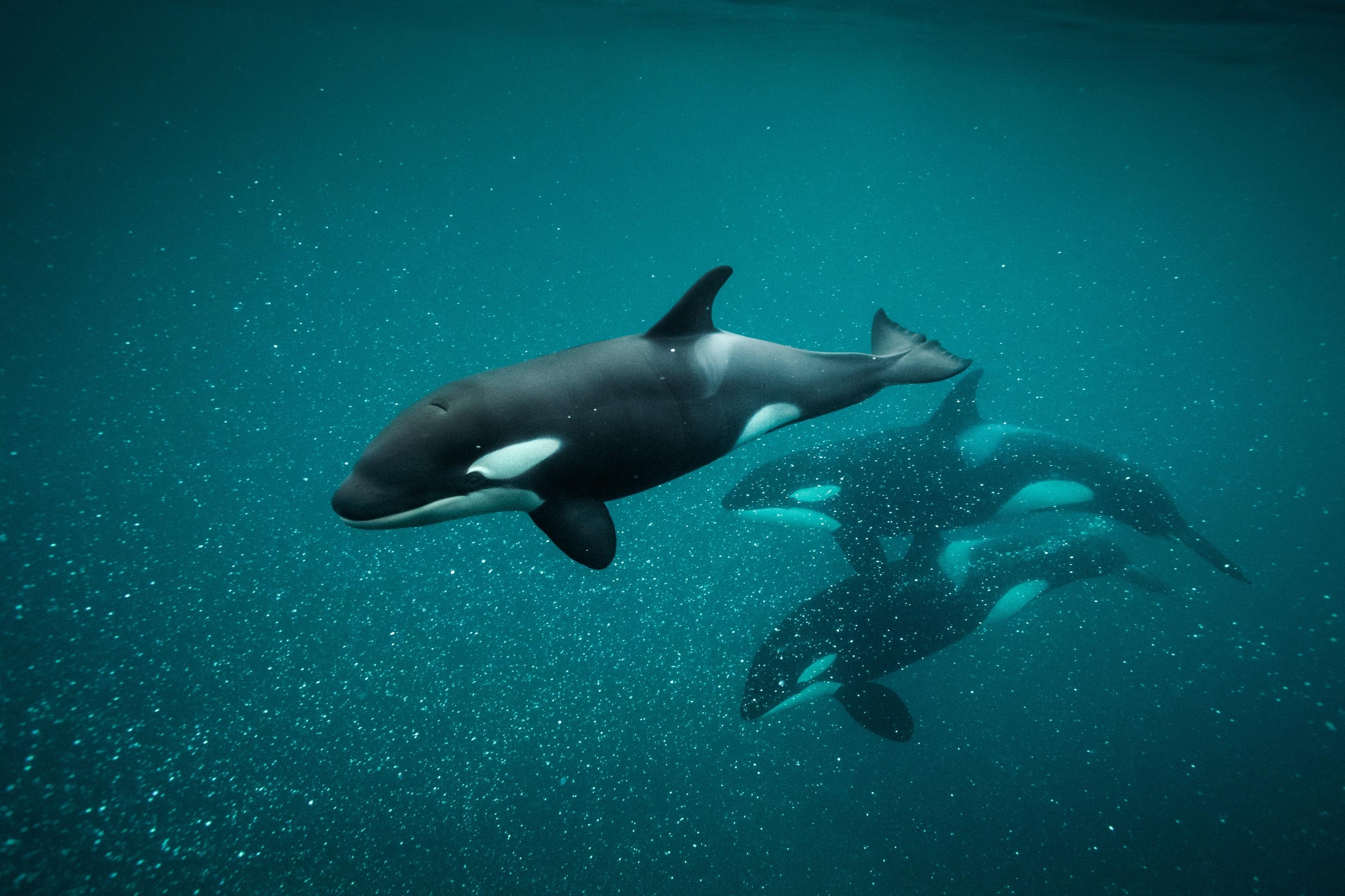 Bonus Episode: The Secret Culture of Killer Whales