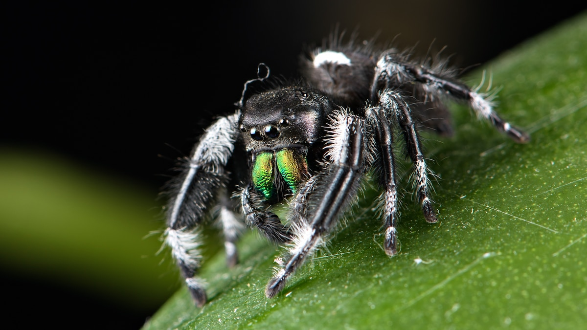 How heavy metals give spiders and other tiny animals their powerful bite