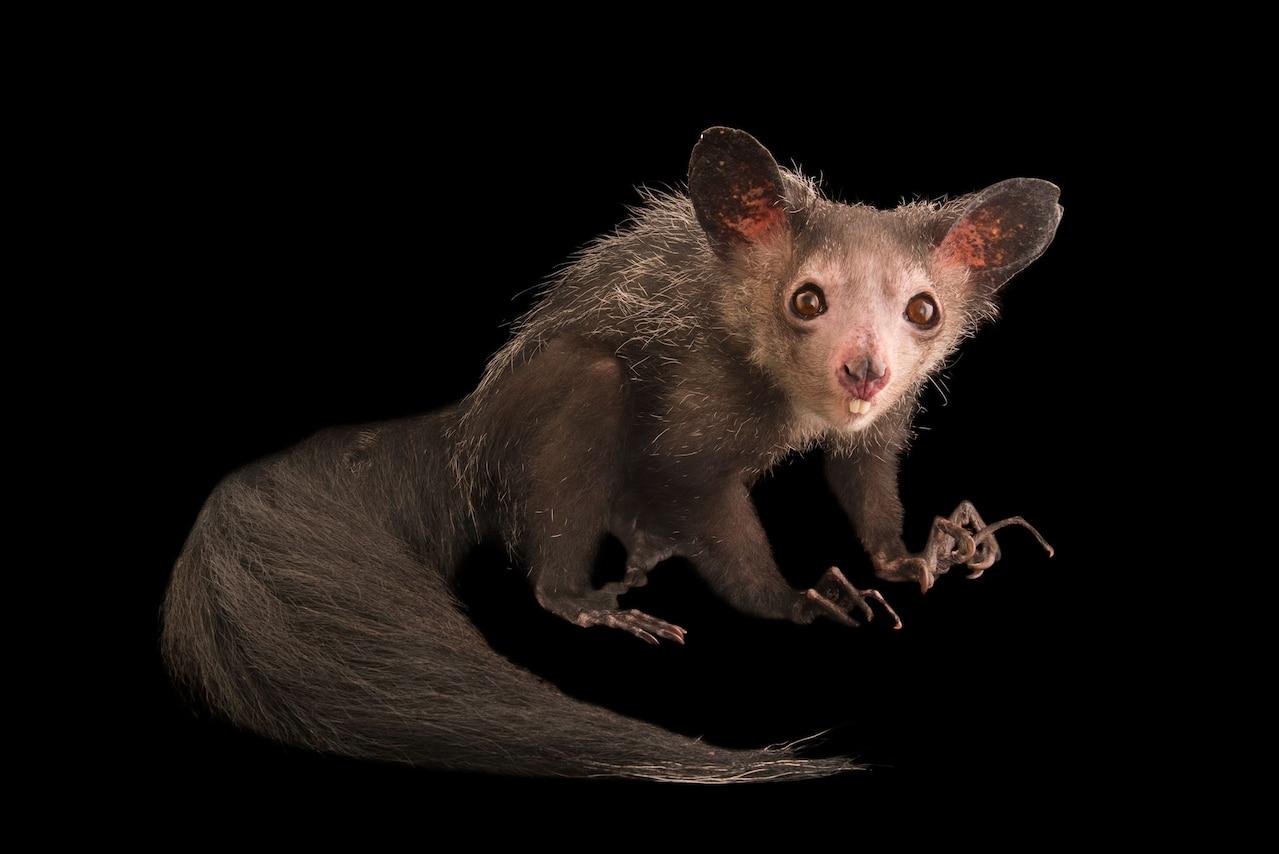 Изображение животного с большими ушами, длинными пальцами и хвостом.