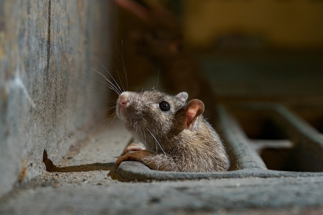 Rats Come Out Of Hiding As Coronavirus, How To Control Mice In Basement