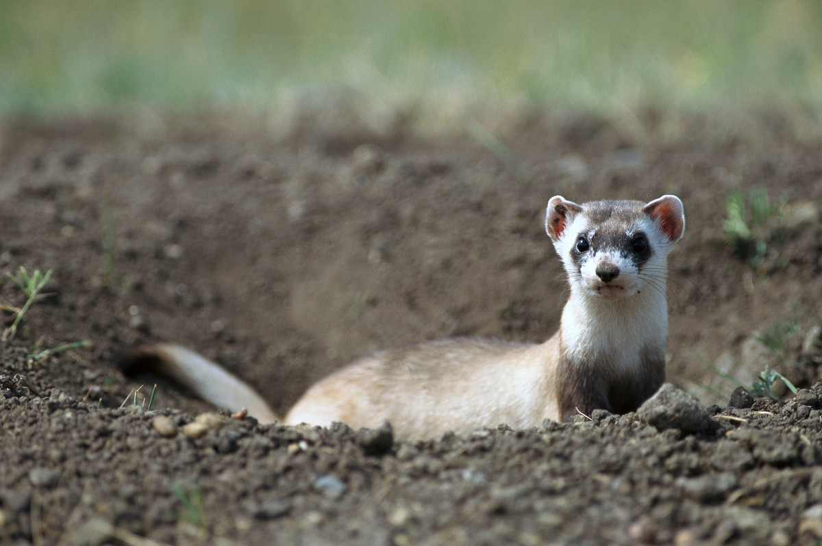 A Black-Footed Ferret Has Been Cloned, A First For A US Endangered Species