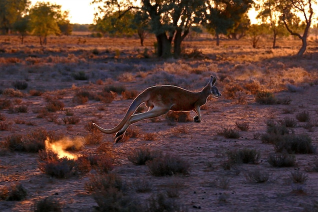 Kangaroo populations are very sensitive to droughts. While some scientists say this means their populations are controlled naturally and do not require culling, others say it's more humane, and economically beneficial, to allow hunters to shoot them and sell their meat and skins. Photograph by David Gray, Reuters