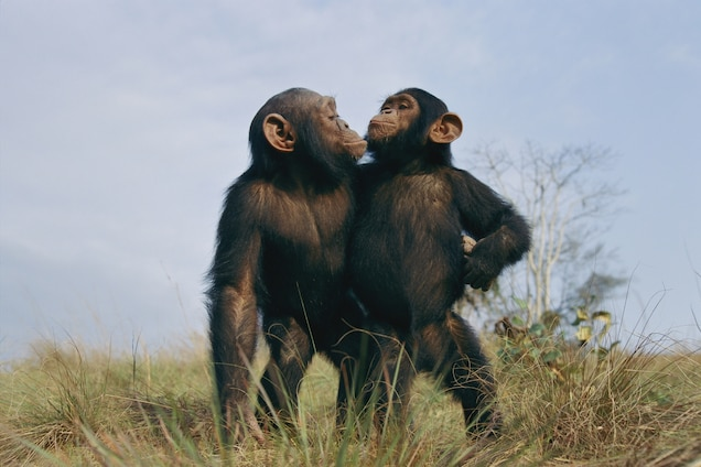 Chimpanzees Deemed Endangered by U.S. – What's It Mean?