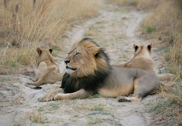 POLL: Can lion trophy hunting support conservation?