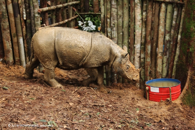 The rhino was caught in a pit trap and will soon be airlifted to a protected area. Photograph by Ari WIBOWO, WWF-Indonesia