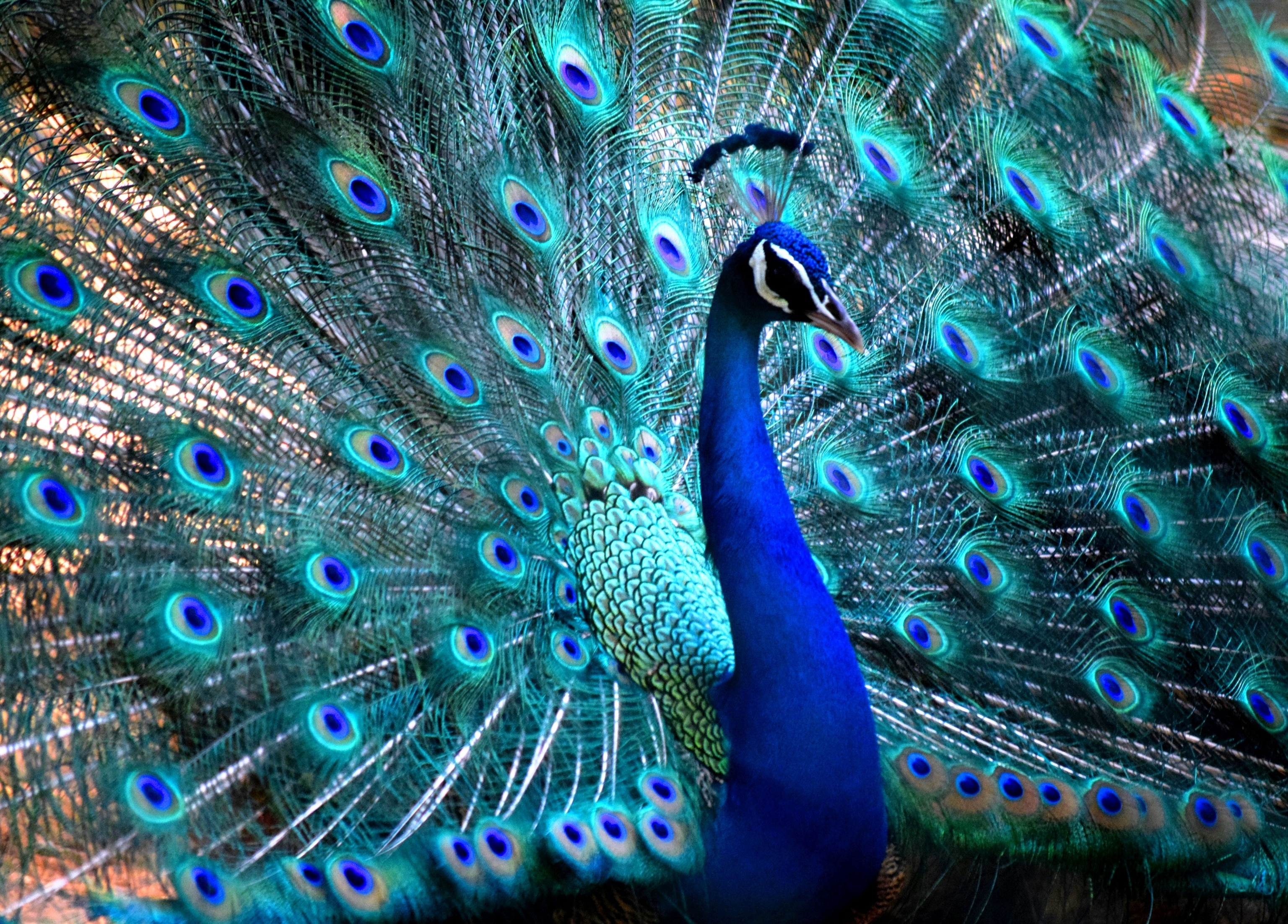 Peacocks National Geographic