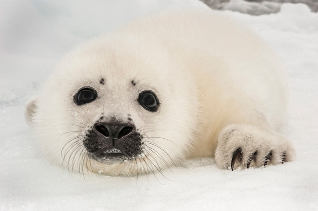 Harp Seal National Geographic