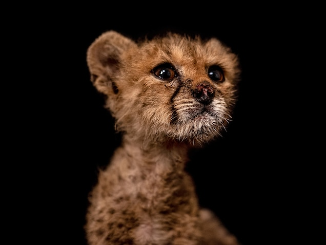 """Called """"Nose"""" in Somali, San is another of the cubs rescued in Cabdi Xayawaan's case. She had a badly injured nose and cried at first, but since she's been housed with Link and Zelda, she's settled down."""