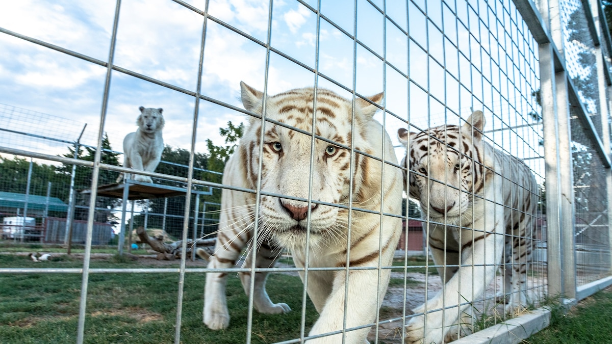 USDA accused of ignoring animal welfare violations in favor of business interests thumbnail