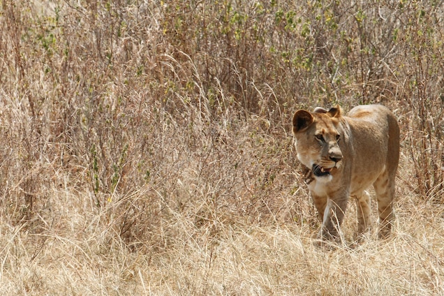One of the lions that has been reintroduced to Akagera National Park, Rwanda - Photograph by Sarah Hall