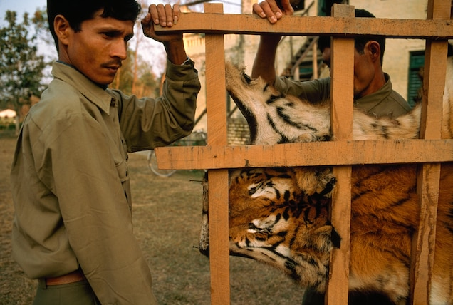 Game rangers carry a confiscated tiger skin drying on a rack in Royal Bardia National Park in Nepal. PHOTOGRAPH BY GEMUNU AMARASINGHE, AP