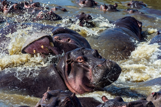 In addition to poaching for teeth and meat, threats to hippos include conflict with humans, climate change, and habitat loss. Photograph by Jason Edwards, National Geographic Creative