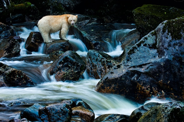 Kermode bears are found only in the remote archipelago of British Columbia's central coast. A genetic mutation in some black bears gives Kermode bears their white fur. Photograph by Paul Nicklen, National Geographic Creative