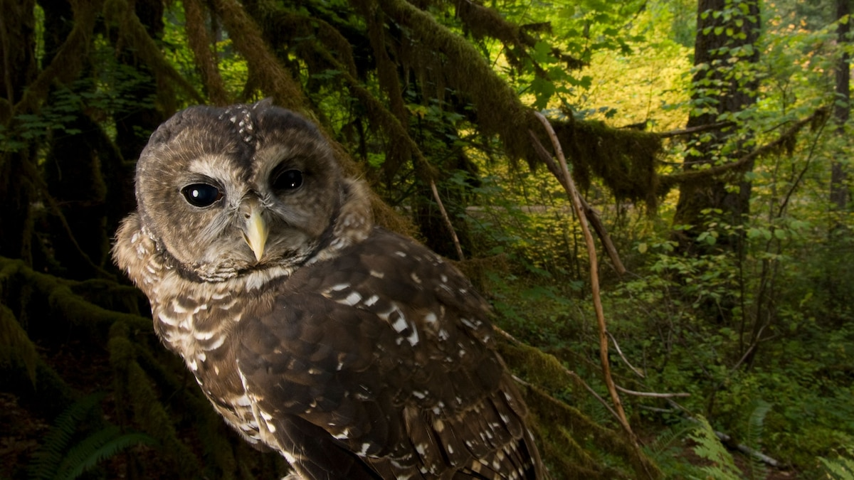 Despite massive effort, spotted owl populations at an all-time low