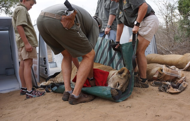 A crew prepares a lion for the move from South Africa Rwanda. Photograph by Cynthia Walley