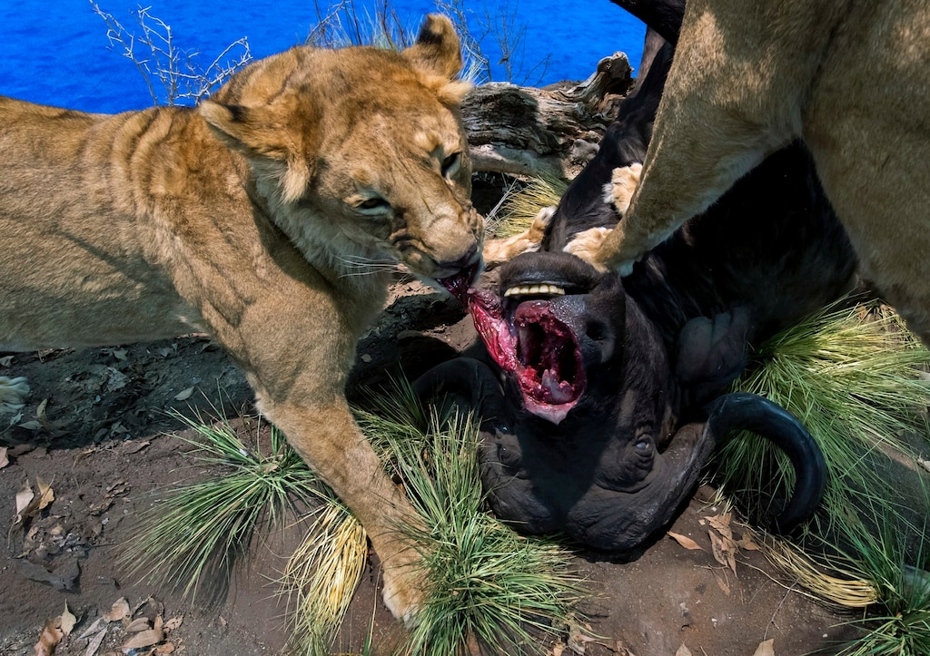 This lifelike exhibit is one of more than 2,000 displays at the 43rd Annual Safari Club International Convention, held in Las Vegas in February. U.S. hunters make up the largest market for captive lion hunts in South Africa - Photograph by Brian Cahn, Zuma/Corbis