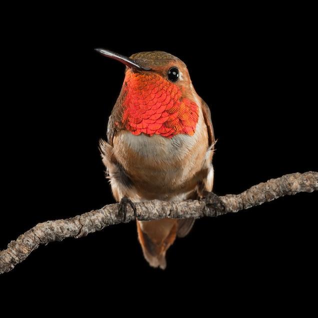 Изображение птицы с красной шеей.